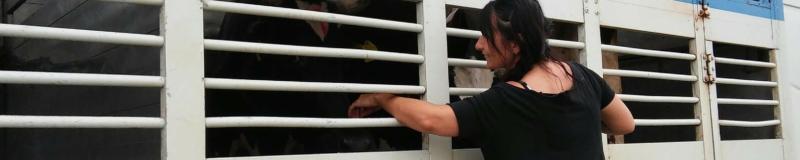 Libere le mucche di Suzzara