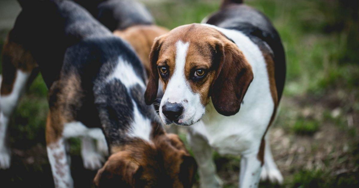 Beagle salvi dal laboratorio, ora cercano casa