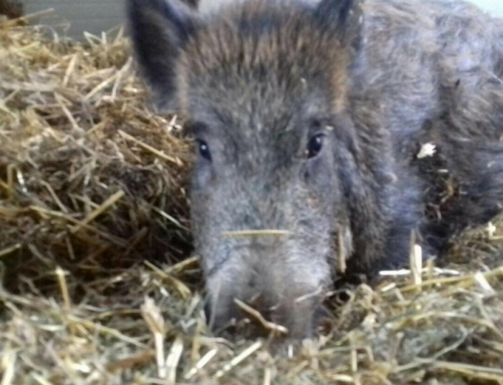 Trasferita la custodia giudiziale dei maiali sequestrati ad agosto