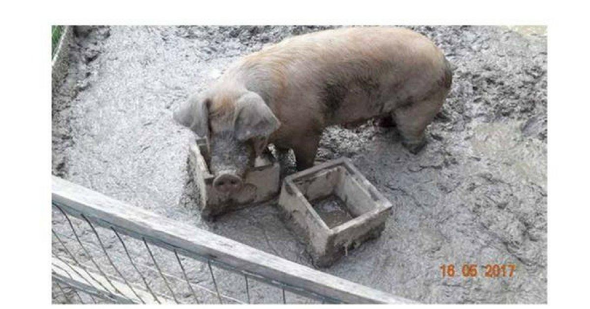 Foto scattate a maggio 2017, prima che i maiali fossero trasferiti nel campo dove poi sono stati sequestrati.