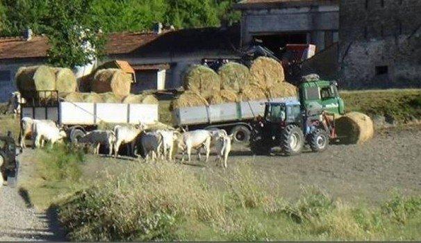 mucche bagno di romagna