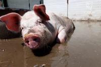 Stella, altrimenti detta Zero, è il primo maiale ad essere uscito da un laboratorio di ricerca in Italia.